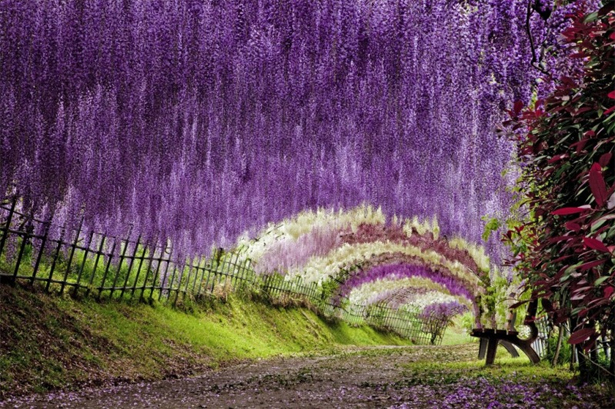 Wisteria tunnel at Kawachi gardens