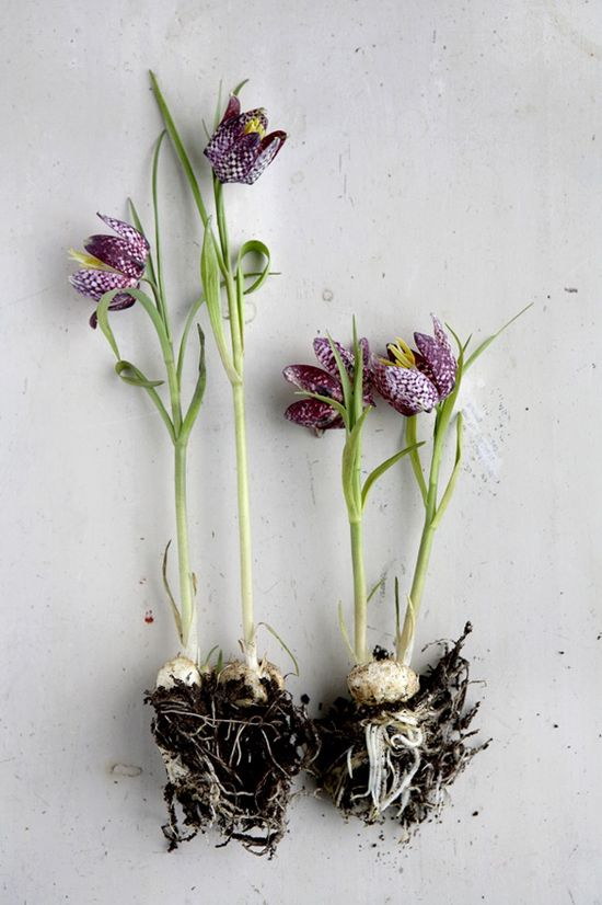 Frittilaria Bulbs